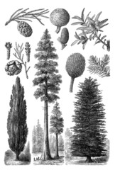 Gymnosperm Trees
