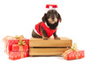 Wire haired dachshund with Christmas suit on wooden crate