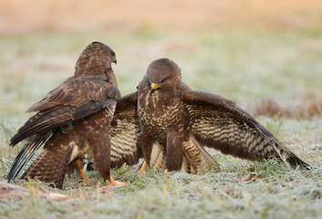 Common buzzards