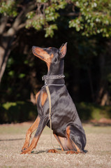 Training Doberman