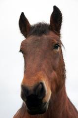 Tête de cheval de trait ardennais