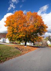 Maple Tree Autumn Colors