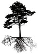 isolated black pine tree with large root