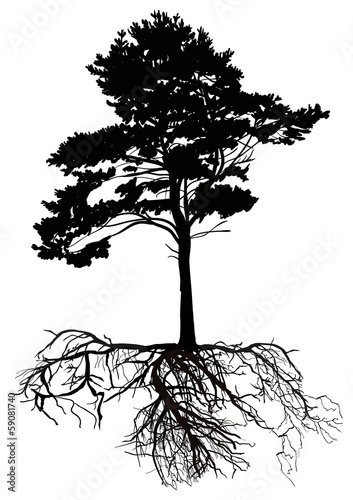 isolated black pine tree with large root - 59081740