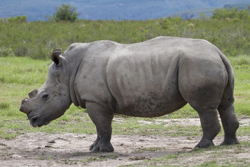 De-Horned Rhino Side Profile