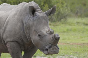De-Horned Rhino Close-up