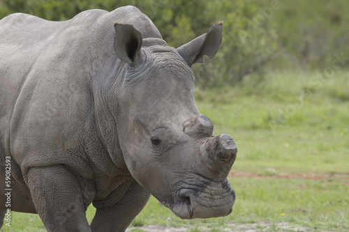 De-Horned Rhino Close-up