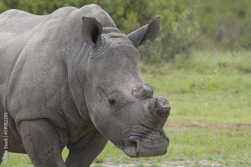 Foto op Canvas Neushoorn De-Horned Rhino Close-up