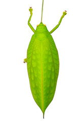 Green giant katydid Stilpnochlora couloniana