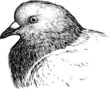 head of pigeon