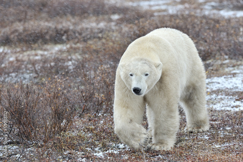 Polar bear walking on tundra during blizzard.