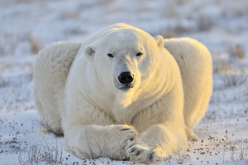 Polar bear lying at tundra.