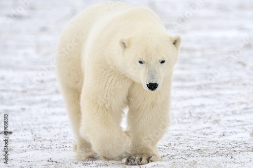 Fotobehang Ijsbeer Polar bear walking on tundra.