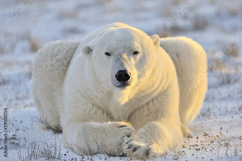 Tuinposter Ijsbeer Polar bear lying at tundra.