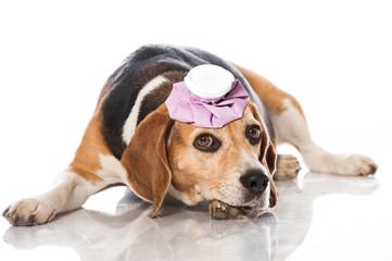 Beagle mit Kühlbeutel