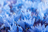 Cornflower background