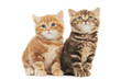 Two British Shorthair kitten cat isolated