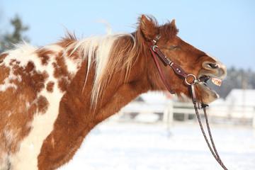 Nice skewbald yawning pony in winter