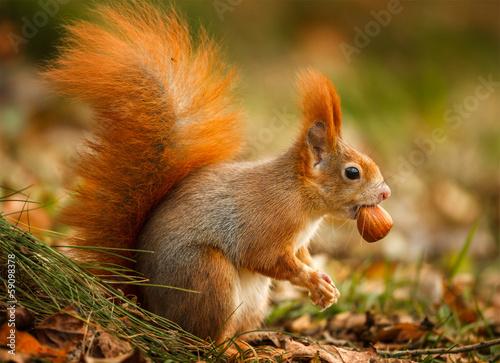 Foto op Plexiglas Eekhoorn Red squirrel foraging for hazelnuts