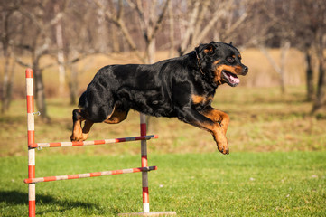 Rottweiler dog jumping over the hurdle