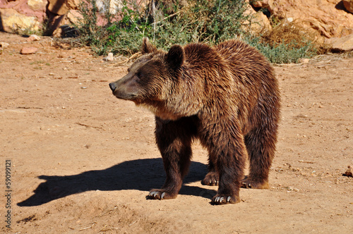 brown bear wild animal