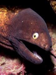 White Eyed Moray Eel - Siderea thyrsoidea