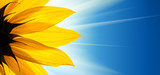 Fototapety Sunflower flower sunshine on blue sky background