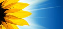 """Постер, картина, фотообои """"Sunflower flower sunshine on blue sky background"""""""