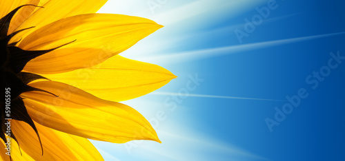 Deurstickers Bloemenwinkel Sunflower flower sunshine on blue sky background