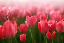 Champ de fleurs de tulipes rouge