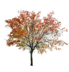 rowan tree at late autumn on white