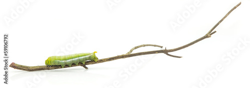 Worm on branch isolated on white