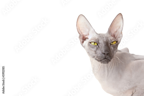 White background with Donsphinx cat