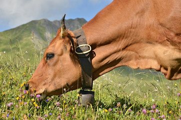 Portrait Tarine cow grazing