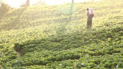 farmer spraying pesticide in cabbage farm