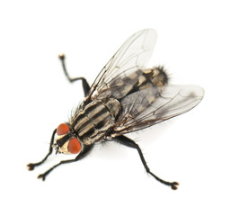 house fly on white