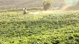 farmer spraying pesticide in cabbage farm