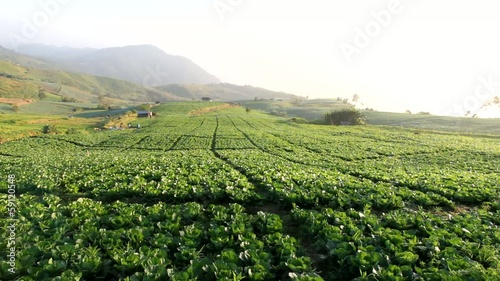 cabbage farm on hillock wide shot pan right to left