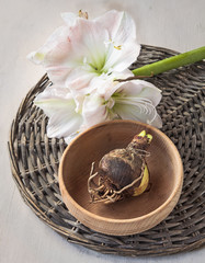 Bulbous plants and flower hippeastrum