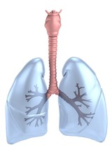 realistic 3d render of lungs