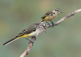 Yellow Wagtails Juvenile