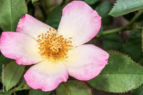 Eglantine Sweet briar flower blossom