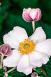 Christmas Rose flower blossom