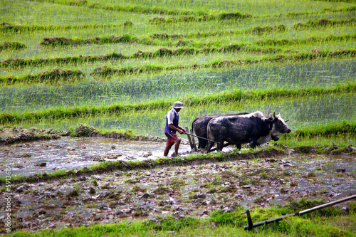farmer plowing with ox cart