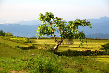 Lonely tree at himalayas mountains