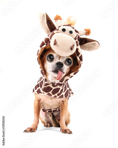 Papiers peints Girafe a cute chihuahua in a costume