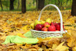 basket of fresh ripe apples in garden on autumn leaves