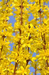 floraison d'un forsythia