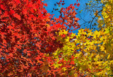 Autumn maples 16