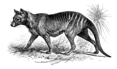 Marsupial : Thylacine (extinct australian animal)